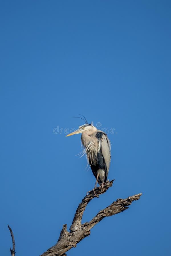 Μεγάλος μπλε ερωδιός που σκαρφαλώνει σε ένα δέντρο στοκ εικόνες