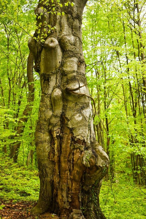 Μεγάλος παλαιός και στριμμένος κορμός στο πράσινο δάσος σε μια ημέρα άνοιξη στοκ εικόνα με δικαίωμα ελεύθερης χρήσης