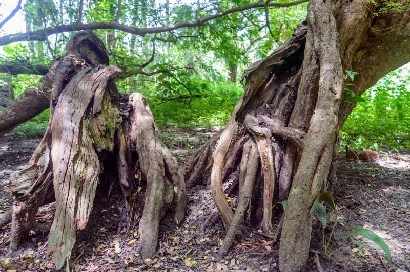 Μεγάλος παλαιός κορμός δέντρων στοκ φωτογραφία