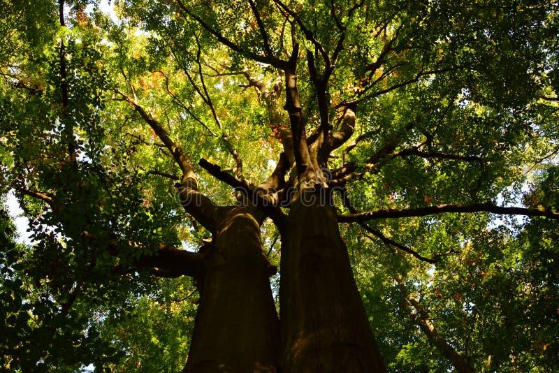 Μεγάλος πατέρας δέντρων του δάσους στοκ φωτογραφία