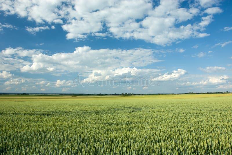 Μεγάλος πράσινος τομέας, ορίζοντας και άσπρα σύννεφα στο μπλε ουρανό στοκ φωτογραφία με δικαίωμα ελεύθερης χρήσης