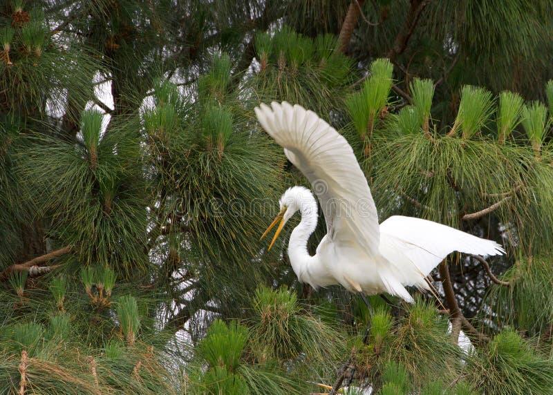 Μεγάλος τσικνιάς που προσγειώνεται στο δέντρο πεύκων στοκ εικόνες με δικαίωμα ελεύθερης χρήσης