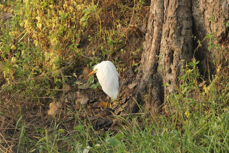 Μεγάλος τσικνιάς Bandipur NP στοκ φωτογραφίες