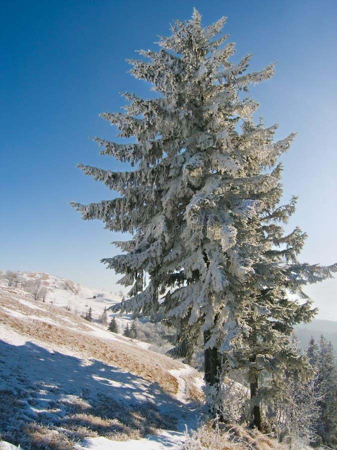 μεγάλος χειμώνας έλατο&upsilon στοκ εικόνες
