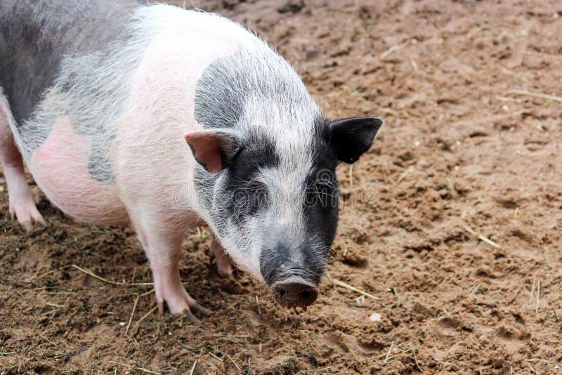 Μεγάλος χοίρος στο αγρόκτημα στοκ φωτογραφία με δικαίωμα ελεύθερης χρήσης