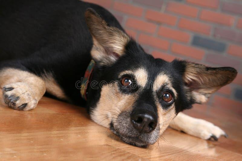 μεγάλο άμεσα πάτωμα σκυλ&i στοκ εικόνα