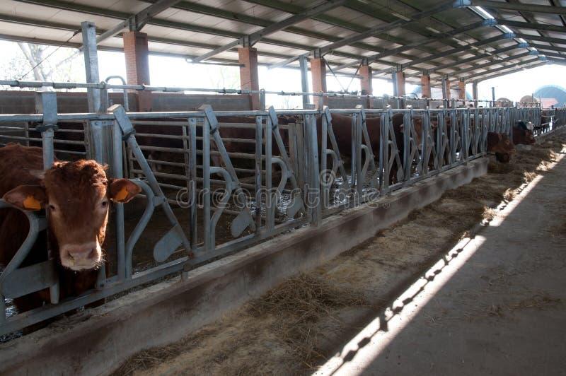 Μεγάλο αγρόκτημα αγελάδων στοκ εικόνες