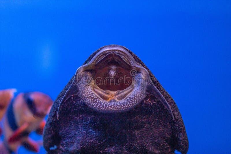 Μεγάλο γατόψαρο Gastromizon από την οικογένεια Balitoria, θηλάζοντας ψάρια, μπλε νερό ψαριών ενυδρείων στοκ φωτογραφία