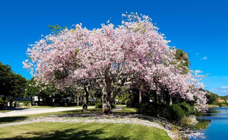 Μεγάλο δέντρο που καλύπτεται στα ανθίζοντας ρόδινα λουλούδια από έναν ποταμό στοκ φωτογραφίες με δικαίωμα ελεύθερης χρήσης