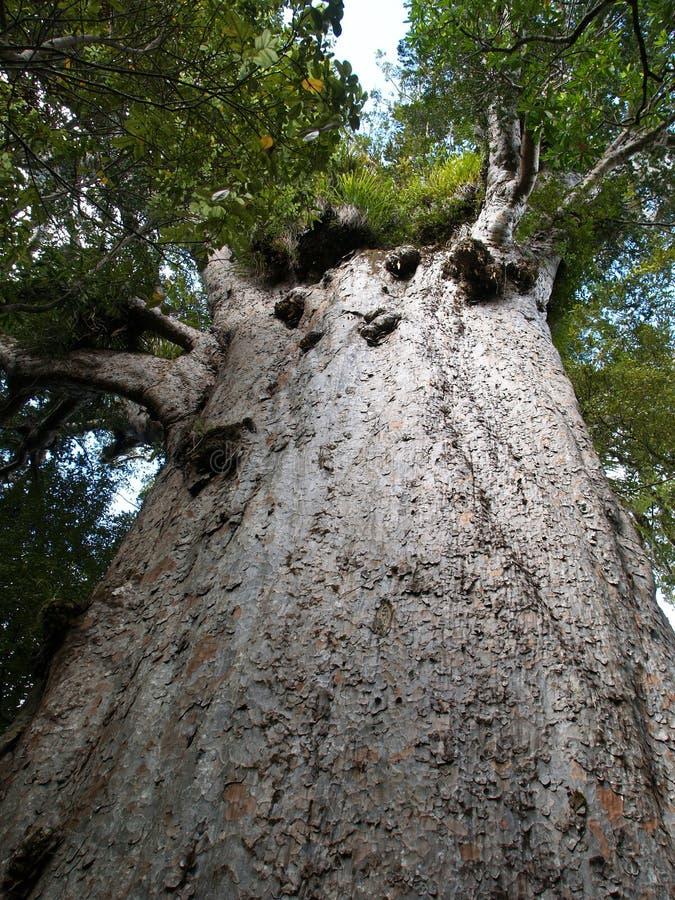μεγάλο δέντρο kauri στοκ εικόνες
