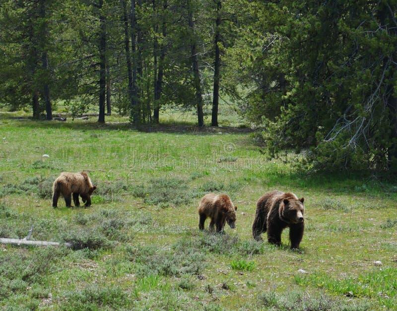 Μεγάλο εθνικό πάρκο Teton, σταχτιά αρκούδα και cubs στοκ εικόνα