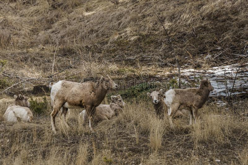 Μεγάλο θηλαστικό canadensis Ovis προβάτων ή προβατίνων Bighorn θηλυκό στη Βρετανική Κολομβία Καναδάς foresr ανατολικά στοκ φωτογραφία