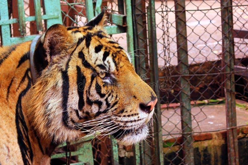 Μεγάλο κεφάλι τιγρών στην αιχμαλωσία στοκ εικόνες