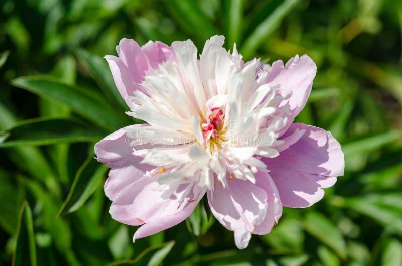 Μεγάλο κεφάλι του ανοιγμένου ρόδινου peony λουλουδιού σε έναν θερινό κήπο στοκ εικόνα