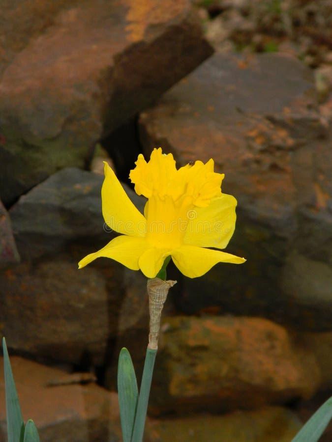 Μεγάλο κοίλο κίτρινο carlton daffodil με τους βράχους στοκ φωτογραφία με δικαίωμα ελεύθερης χρήσης
