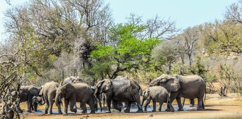 Μεγάλο κοπάδι αναπαραγωγής των ελεφάντων σε μια τρύπα νερού στο εθνικό πάρκο Kruger, Αφρική στοκ φωτογραφία με δικαίωμα ελεύθερης χρήσης