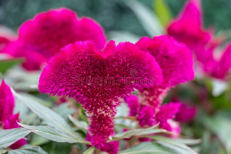 μεγάλο κόκκινο λουλο&upsil Μακρο πυροβολισμός ενός λουλουδιού, πράσινα φύλλα στοκ εικόνες
