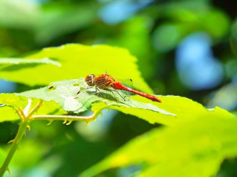 μεγάλο κόκκινο damselfly στοκ εικόνες