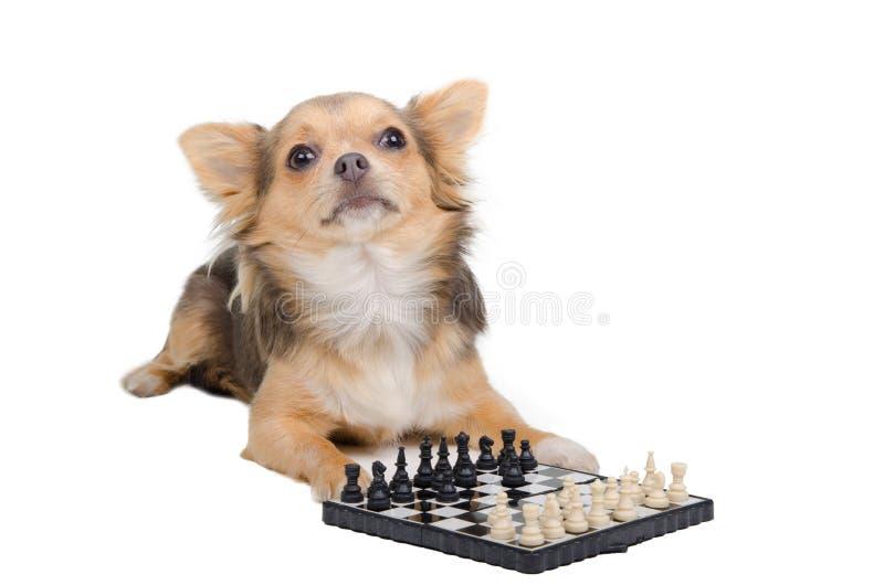 μεγάλο κύριο παιχνίδι σκυλιών σκακιού στοκ εικόνες