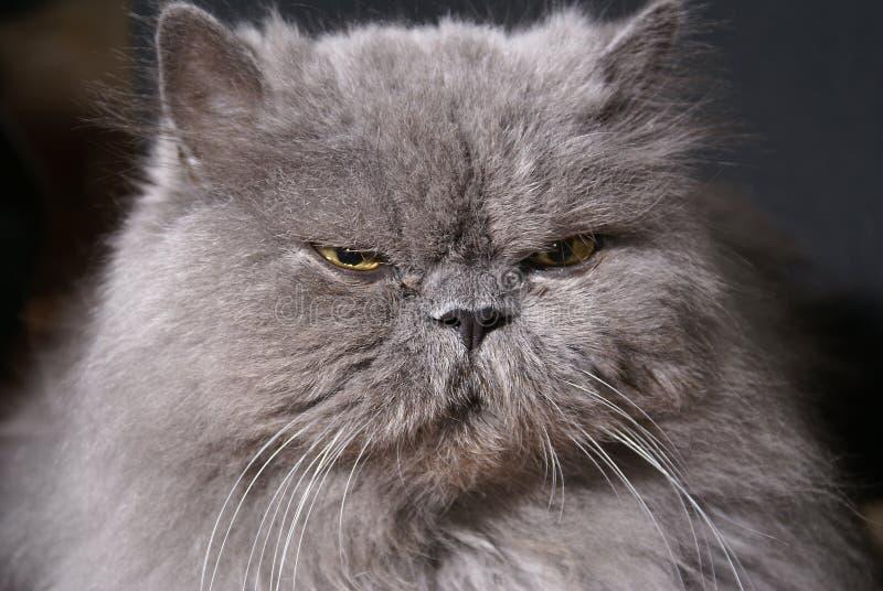 μεγάλο λίπος γατών περσι&kap στοκ εικόνα
