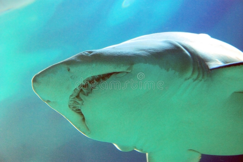μεγάλο λευκό καρχαριών στοκ εικόνα με δικαίωμα ελεύθερης χρήσης