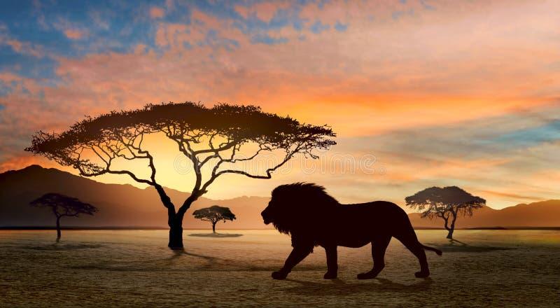 Μεγάλο λιοντάρι που περπατά στη σαβάνα στοκ φωτογραφία