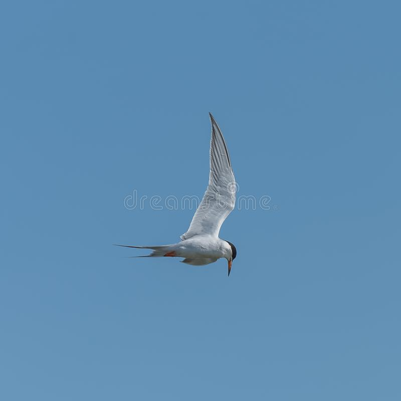 Μεγάλο λοφιοφόρο στέρνα, πουλί θάλασσας στοκ φωτογραφία με δικαίωμα ελεύθερης χρήσης