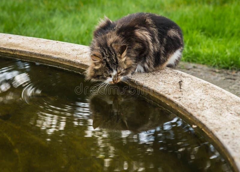 Μεγάλο μαύρο μαρμάρινο πόσιμο νερό γατών από μια πηγή στοκ εικόνα