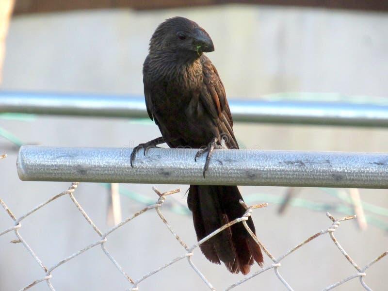 Μεγάλο μαύρο πουλί με την πράσινη βλάστηση στο ράμφος του στοκ φωτογραφία με δικαίωμα ελεύθερης χρήσης