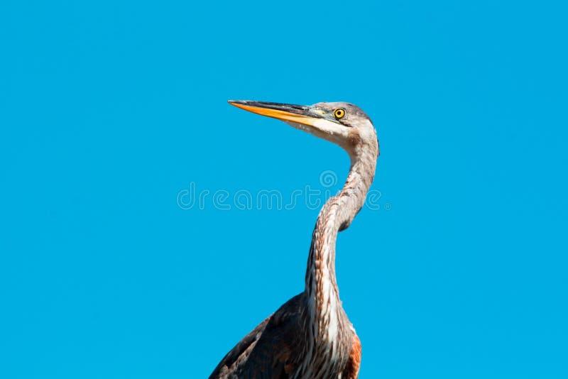 Μεγάλο μπλε πουλί ερωδιών κινηματογραφήσεων σε πρώτο πλάνο με τον ουρανό ως υπόβαθρο στοκ φωτογραφίες με δικαίωμα ελεύθερης χρήσης