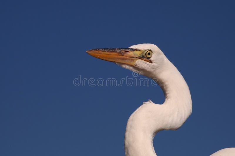 Μεγάλο πορτρέτο τσικνιάδων, εθνικό πάρκο Everglades στοκ φωτογραφία με δικαίωμα ελεύθερης χρήσης