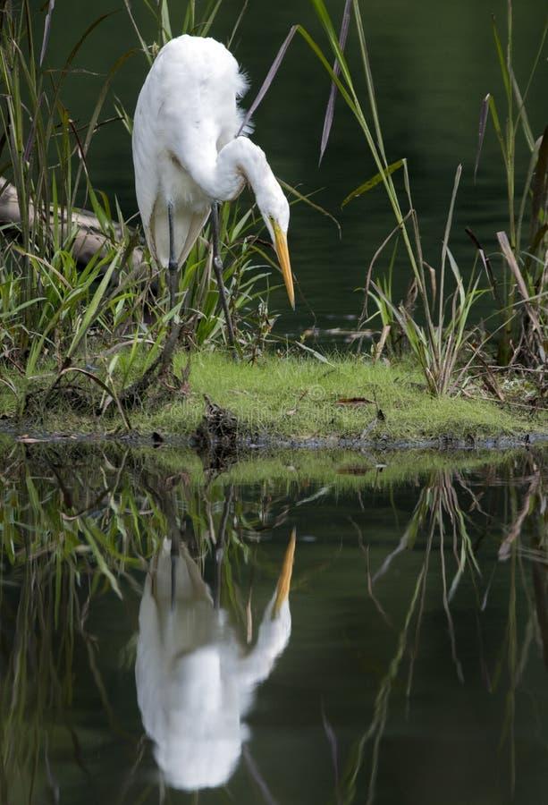 Μεγάλο πουλιών ελών τσικνιάδων στο νερό στοκ εικόνες