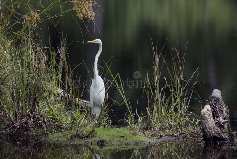 Μεγάλο πουλιών ελών τσικνιάδων στο νερό στοκ εικόνες με δικαίωμα ελεύθερης χρήσης