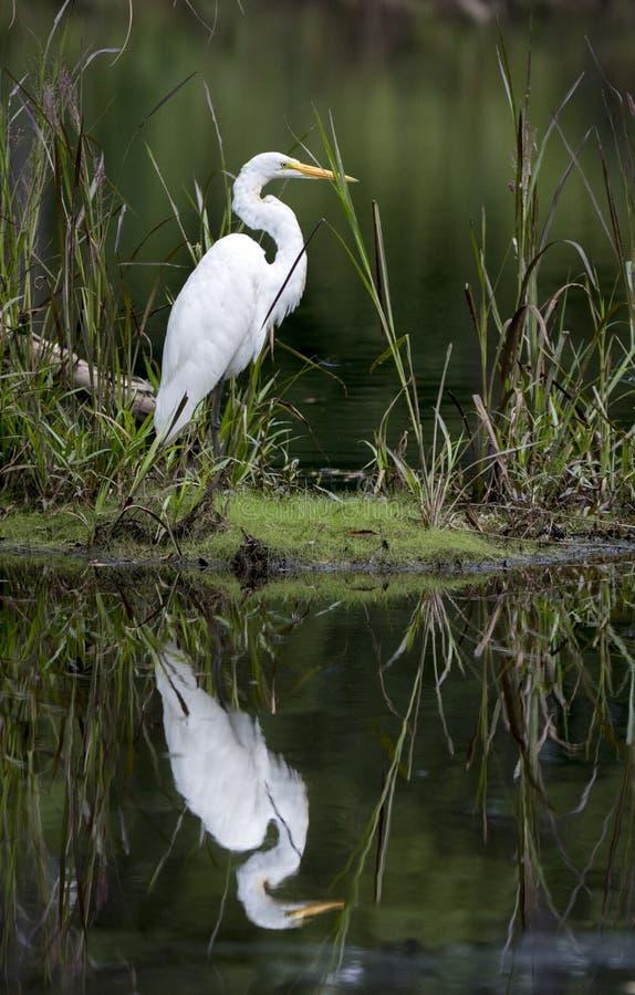 Μεγάλο πουλιών ελών τσικνιάδων στο νερό στοκ φωτογραφία με δικαίωμα ελεύθερης χρήσης