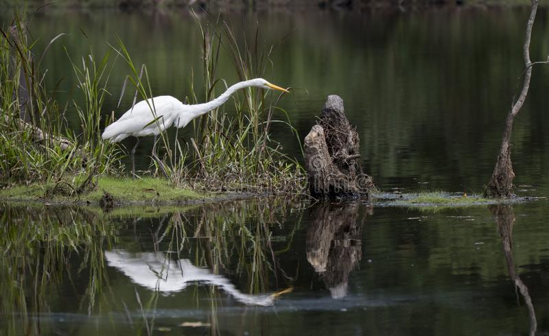 Μεγάλο πουλιών ελών τσικνιάδων στο νερό στοκ εικόνα με δικαίωμα ελεύθερης χρήσης