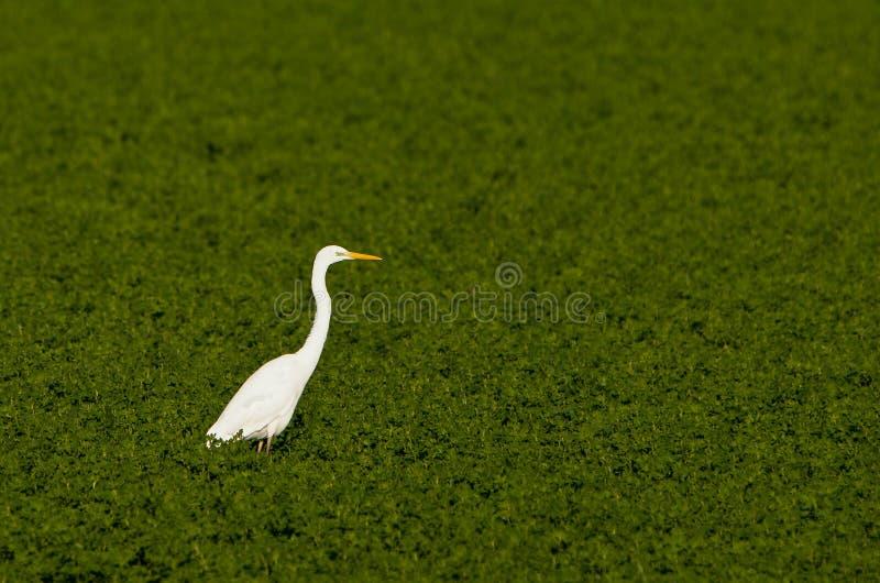 μεγάλο πράσινο λευκό τσι& στοκ φωτογραφίες με δικαίωμα ελεύθερης χρήσης