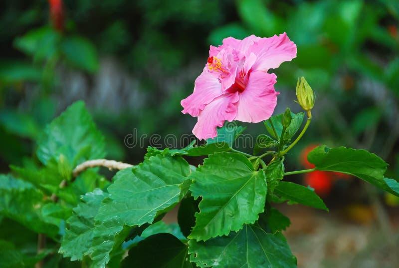 Μεγάλο ρόδινο hibiscus ανθίζει τα βεραμάν φύλλα στοκ εικόνες