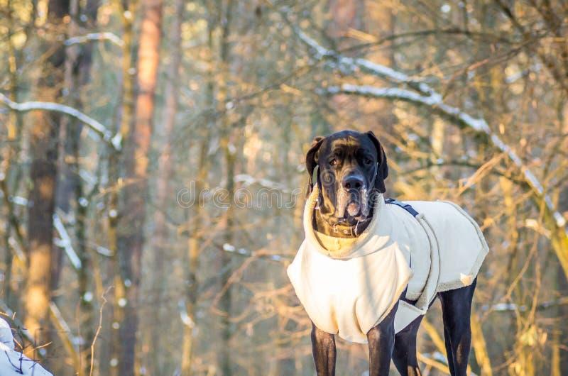 Μεγάλο σκυλί Δανών το χειμώνα με τα ενδύματα στοκ εικόνες