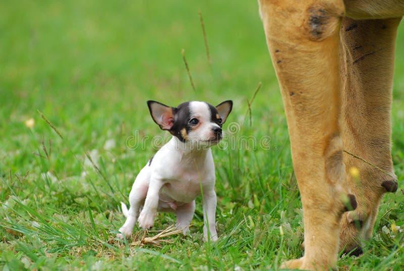 μεγάλο σκυλί κινδύνου έννοιας μικρό στοκ εικόνα