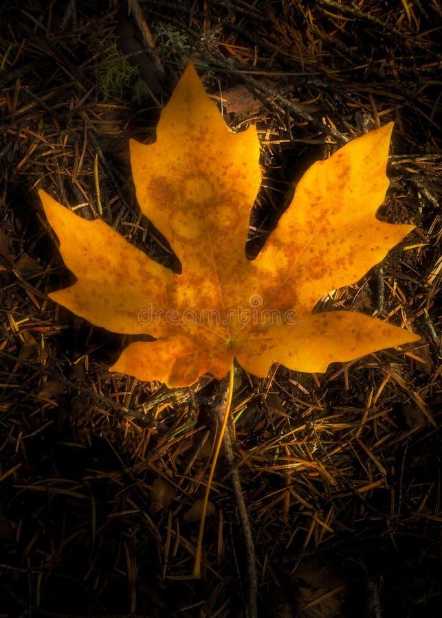 Μεγάλο φύλλο σφενδάμου με το σημείο φύλλων το φθινόπωρο στοκ εικόνες