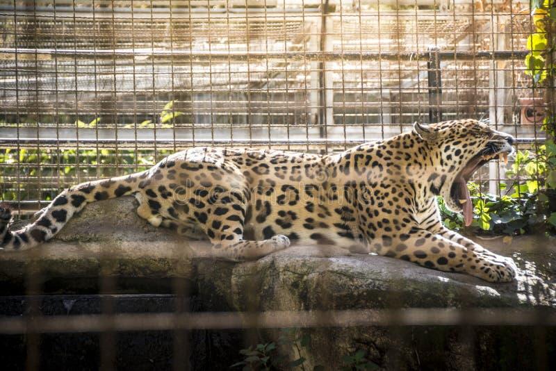 Μεγάλο χασμουρητό ιαγουάρων γατών στοκ εικόνες με δικαίωμα ελεύθερης χρήσης