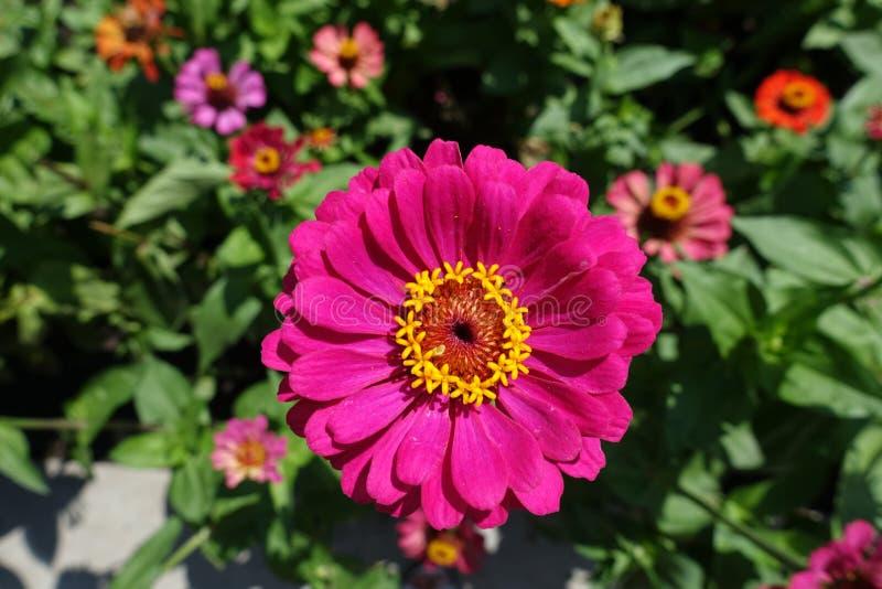 Μεγάλο χρωματισμένο ροδανιλίνη κεφάλι λουλουδιών της Zinnia στοκ εικόνες