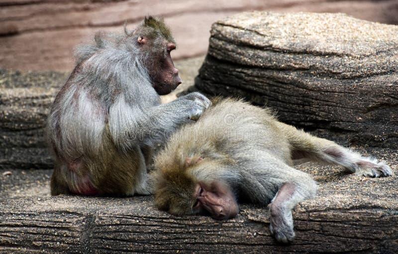 Μεγάλο baboon που καλλωπίζει ένα άλλο ζώο σε έναν ζωολογικό κήπο στοκ φωτογραφίες