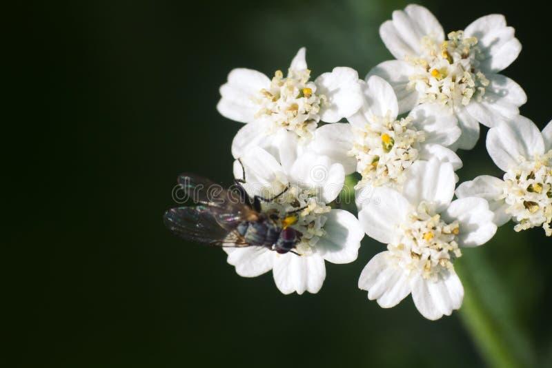 Μεγάλο blowfly στο άσπρο λουλούδι ως ενδύματα νυφών στοκ εικόνα