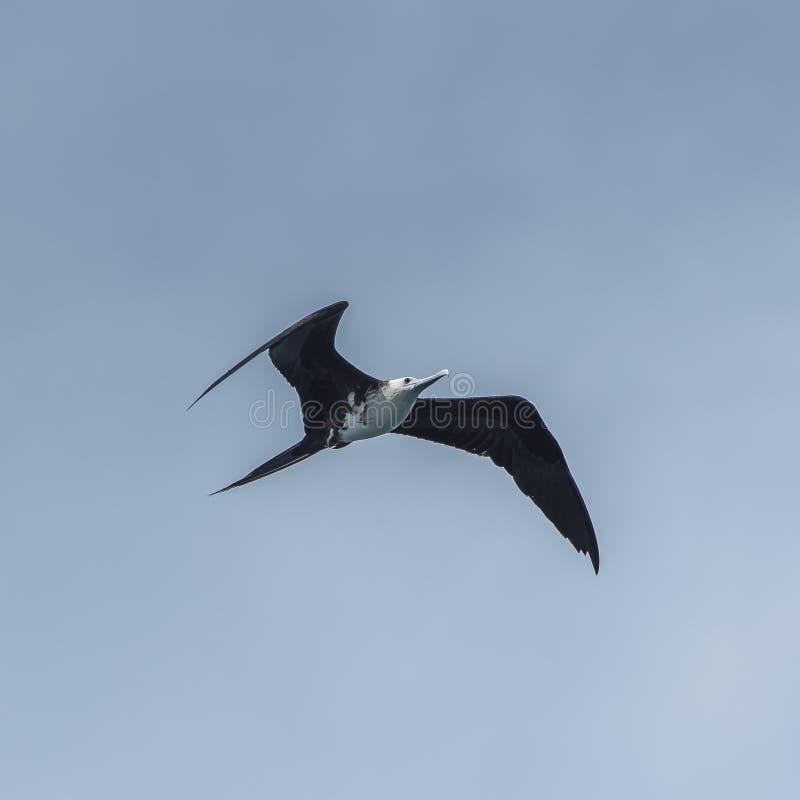 Μεγάλο Frigatebird στοκ φωτογραφία με δικαίωμα ελεύθερης χρήσης