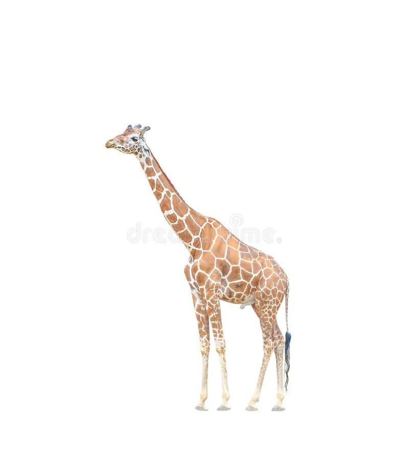 Μεγάλο giraffe που μασά τη χλόη που απομονώνεται στο άσπρο υπόβαθρο στοκ φωτογραφία με δικαίωμα ελεύθερης χρήσης