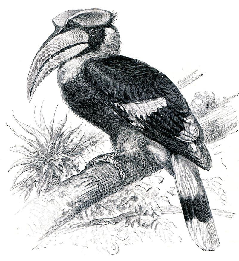 μεγάλο hornbill διανυσματική απεικόνιση