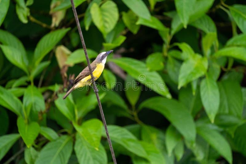 Μεγάλο Kiskadee ( Pitangus sulphuratus)  λήφθείτε στη Κόστα Ρίκα στοκ φωτογραφία