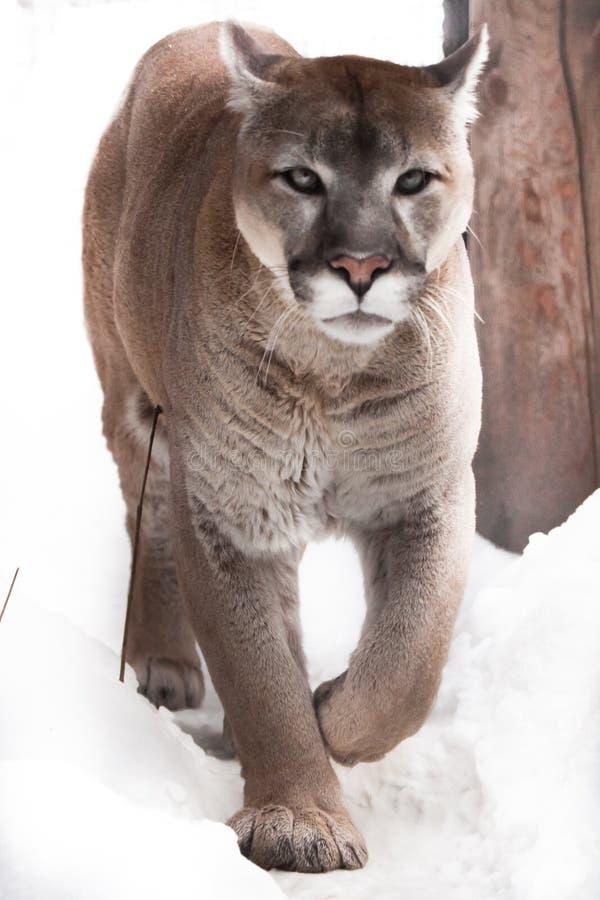 Μεγάλο puma γατών σε ένα χιονώδες υπόβαθρο Αρπακτικός cougar έρχεται σε σας στενός επάνω στοκ φωτογραφίες