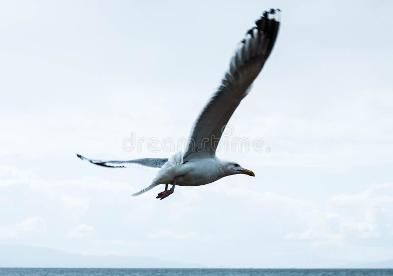 Μεγάλο seagull που πετά ή που πετά στα ύψη πέρα από τη λίμνη baikal στοκ εικόνες